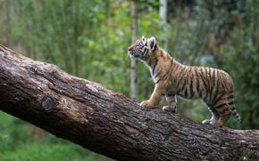Картинка бревно, котёнок, тигрёнок