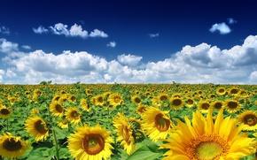 Картинка поле, Подсолнухи, облака
