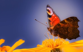 Обои лепестки, хоботок, крылья, бабочки, усики, цветок