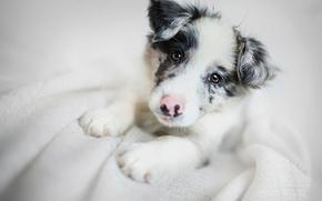 Картинка Бордер-колли, взгляд, щенок, собака, морда