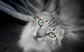 Картинка кошка, глаза, зеленые, серая, смотрит