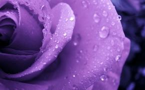 Картинка цветок, капли, роса, роза