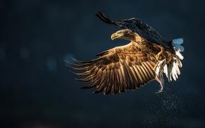 Картинка добыча, птица, орёл, улов, рыба, брызги