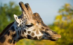 Картинка взгляд, голова, профиль, France, Moselle, Lorraine, Жираф (Giraffa camelopardalis)