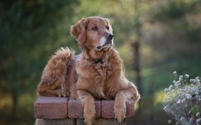Картинка цветы, портрет, собака, боке, Голден ретривер, Золотистый ретривер