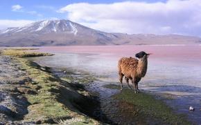 Картинка горы, лама, Bolivia, lama en la laguna