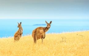 Картинка море, поле, небо, синий, горизонт, кенгуру, островок, живая природа