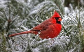 Картинка красный, птица, кардинал