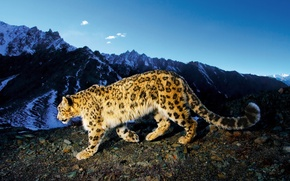 Обои Снежный барс, Snow Leopard, ирбис, горы