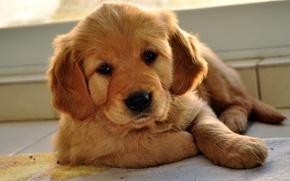 Картинка взгляд, щенок, песик, лабрадор ретривер
