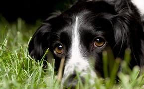Обои трава, взгляд, макро, собака, английский спрингер-спаниель, English Springer Spaniel