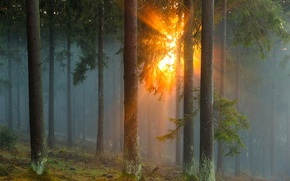 Картинка лес, солнце, лучи, деревья, природа, туман, Германия, хвойные
