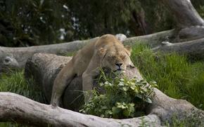 Картинка киски, животные, львы, кошки, природа, сон