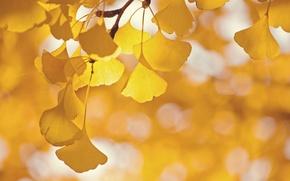 Обои дерево, ветка, листья, гинкго, блики