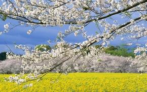 Обои Весна, Поле, Япония