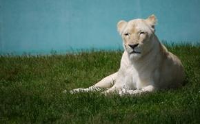Картинка кошка, трава, отдых, белая, львица