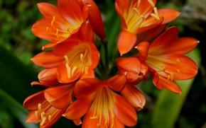 Картинка цветы, оранжевые, Flowers, orange