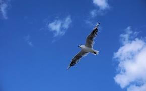 Картинка небо, облака, птица, чайка, синее, летит, в воздухе, парит