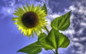 Обои подсолнух, облака, небо, цветок, листья