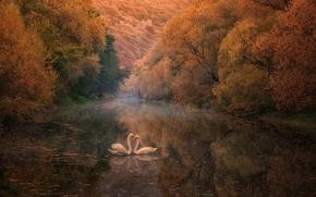 Картинка осень, отражение, река, лебеди