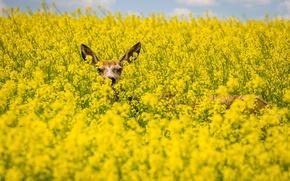 Картинка поле, цветы, животное, олень, рапс