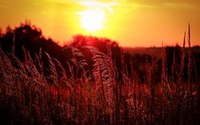 Обои поле, трава, колосья, вечер, закат