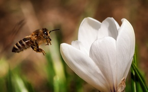 Картинка белый, цветок, природа, нектар, пчела, насекомое