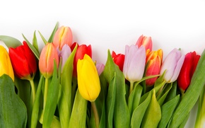 Картинка colorful, тюльпаны, flowers, tulips
