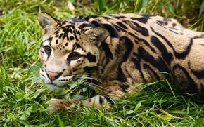 Картинка трава, взгляд, морда, отдых, дымчатый леопард
