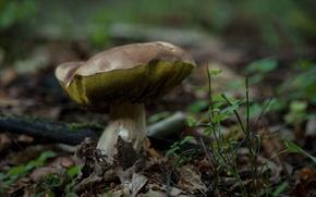Картинка forest, nature, macro, bokeh, mushroom, boletus