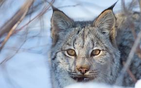 Картинка взгляд, морда, рысь, дикая кошка