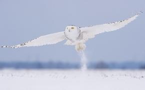 Обои зима, снег, полет, сова, птица, белая, полярная