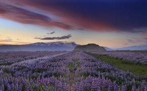 Картинка небо, облака, закат, цветы, горы, вечер, Исландия, сиреневые, люпины