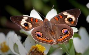 Картинка цветок, узоры, крылья, Бабочка