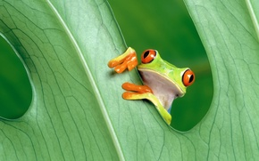 Картинка green, nature, frog, leaves