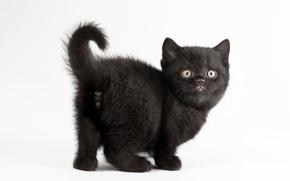 Обои кот, белый фон, котёнок, чёрная кошка