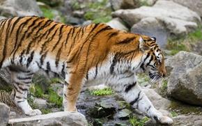 Картинка кошка, тигр, камни, профиль, амурский