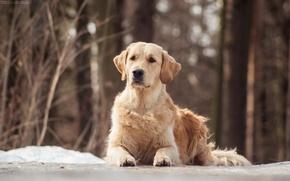 Картинка собаки, dog, золотистый ретривер