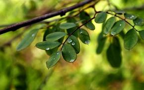 Картинка листья, вода, капли, макро, ветки, зеленый, роса, фон, widescreen, обои, wallpaper, листочки, широкоформатные, background, полноэкранные, …