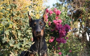 Картинка dog, flowers, beauty, sunny day, Shelbi Cobra iz Zoosfery, doberman, Шелби Кобра из Зоосферы, dogs ...