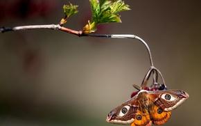 Обои макро, ветка, Павлиноглазка малая, бабочка