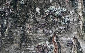 Картинка дерево, береза, текстуры, Кора