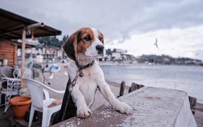 Картинка собака, цепь, щенок, набережная, бигль