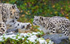 Картинка лапа, хищник, семья, пара, ирбис, снежный барс, snow leopard, котёнок, мать