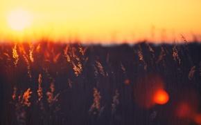 Обои поле, цвета, солнце, лучи, свет, закат, фон, обои, колоски