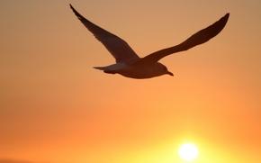 Обои солнце, птица, Чайка