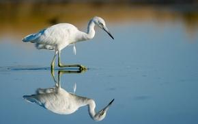 Картинка bird, lake, reflection, wildlife, mirror, walking, hunting, egret