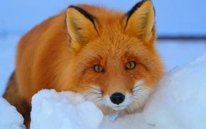 Картинка взгляд, лиса, снег, рыжая, зима