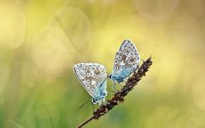 Картинка бабочки, блики, фон, две, растение, колосок