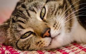 Картинка кот, морда, макро, лежа
